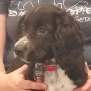 Dottie the Spaniel, Macqueen Puppy Party Graduate from Devizes