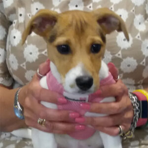 Nutmeg the Jack Russell Terrier, Macqueen Puppy Party Graduate from Melksham