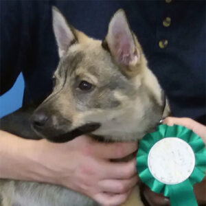 Rio the Swiss Vallhund, Macqueen Puppy Party Graduate from Beckhampton