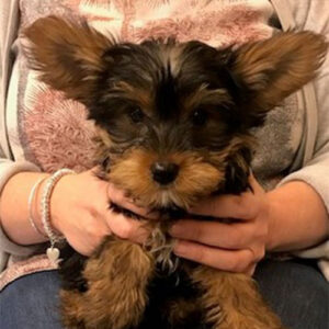 Roscoe the Yorkshire Terrier, Macqueen Puppy Party Graduate from Devizes