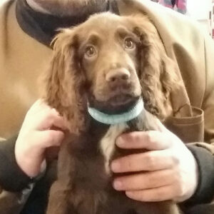 Alfie the Cocker Spaniel, Macqueen Puppy Party Graduate from Devizes