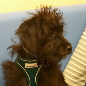 Henry the Miniature Labradoodle, Macqueen Puppy Party Graduate from Urchfont