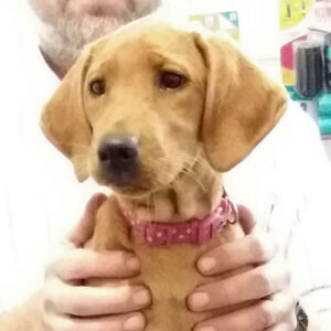 Honey the Labrador, Macqueen Puppy Party Graduate from Avebury