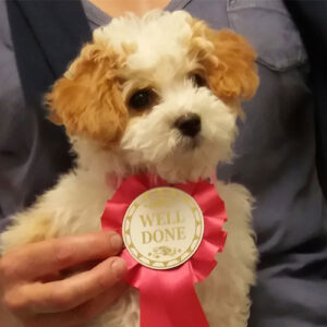 Impy the Poochon, Macqueen Puppy Party Graduate from Urchfont