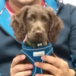 Jasper the Working Spaniel, Macqueen Puppy Party Graduate from Market Lavington