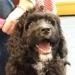 Juno the Cockerpoo, Macqueen Puppy Party Graduate from Potterne