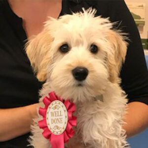 Lola the Schnoodle, Macqueen Puppy Party Graduate from Devizes