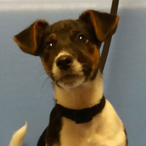 Milo the Jack Russell Terrier, Macqueen Puppy Party Graduate from Calne