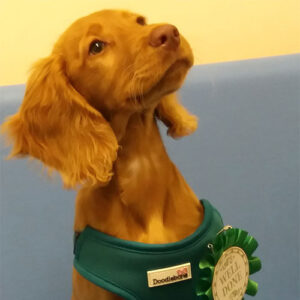 Nala the Sprocker, Macqueen Puppy Party Graduate from Devizes