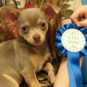 Sid the Chihuahua, Macqueen Puppy Party Graduate from Devizes