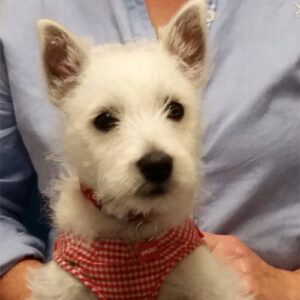 Peanut the Westie, Macqueen Puppy Party Graduate from Potterne