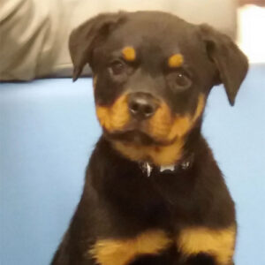 Bruno the Rottweiler, Macqueen Puppy Party Graduate from Potterne