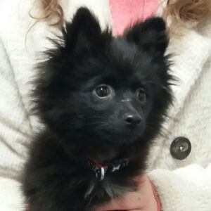 Rosie the Pomeranian, Macqueen Puppy Party Graduate from Devizes