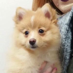 Tally the Pomeranian, Macqueen Puppy Party Graduate from Market Lavington