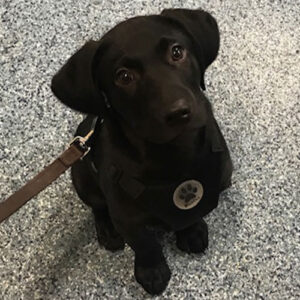 Guinness the Labrador, Macqueen Puppy Party Graduate from Market Lavington