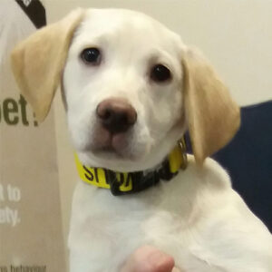 Stella the Labrador, Macqueen Puppy Party Graduate from Devizes