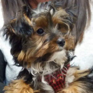 Marley the Yorkshire Terrier, Macqueen Puppy Party Graduate from Devizes