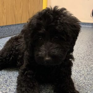 Millie the Labradoodle, Macqueen Puppy Party Graduate from Cherhill