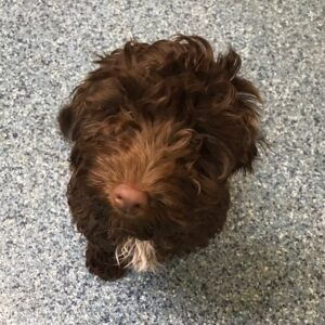 Reggie the Cockapoo, Macqueen Puppy Party Graduate from All Cannings