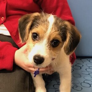 Willow the Jack Russell Terrier, Macqueen Puppy Party Graduate from Devizes