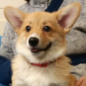 Gracie the Corgi, Macqueen Puppy Party Graduate from Devizes
