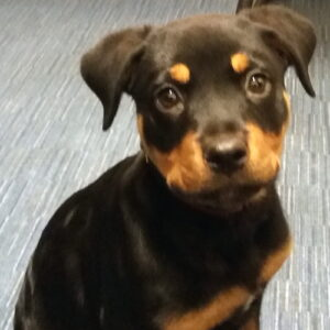 Keisha the Rottweiler, Macqueen Puppy Party Graduate from Devizes
