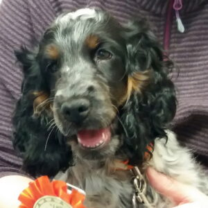 Luna the Cocker Spaniel, Macqueen Puppy Party Graduate from All Cannings