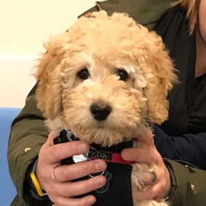 Mabel the Labradoodle, Macqueen Puppy Party Graduate from Trowbridge